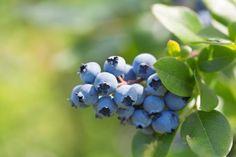 Jak pěstovat borůvky na zahradě? Blueberry Bush Care, Blueberry Tree, Blueberry Bushes, Fruit Plants, Fruit Trees, Highbush Blueberry, Organic Mulch, Arbour Day, Peat Moss