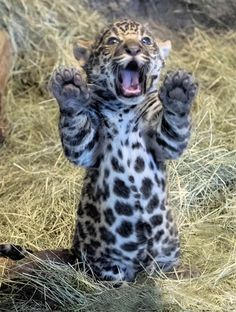 the largest feline on the American continent. Cute Funny Animals, Cute Baby Animals, Animals And Pets, Cute Cats, Beautiful Cats, Animals Beautiful, Big Cats, Cats And Kittens, Majestic Animals