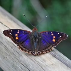 paarse vlinder Iguazu by KatCat, via Flickr