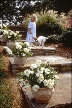 These Flower Carpet White roses soften the edge of stone stairs when planted in containers or pots. Flower Carpet roses are ideal for this use, since they're small in scale, grow horizontally rather than vertically and are very drought-tolerant.