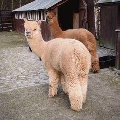 Cute Alpaca, Llama Alpaca, Baby Alpaca, Cute Baby Animals, Funny Animals, Alpaca Pictures, Cute Bunny Pictures, Alpaca My Bags, Silly Dogs