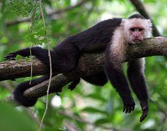 le singe est sur la branche - Google Search