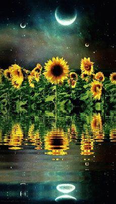 Wallpaper Bright sun 1 by Gocase - sok Sunflower Garden, Sunflower Art, Sunflower Fields, Good Night Gif, Good Night Moon, Beautiful Moon, Beautiful Flowers, Happy Flowers, Cute Wallpapers