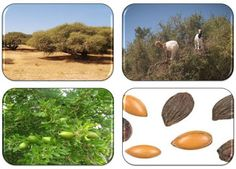 ARGAN OIL ❧  Benefits & Uses #arganoil #essentialoils #skin #hair #culinary #acne #stretchmarks Argan Oil Benefits, Oil Uses, Stretch Marks, Alternative Medicine, Natural Health, Aromatherapy, Health And Beauty, Essential Oils, Humor