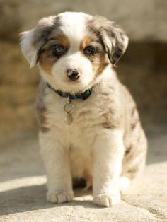 Beautiful Aussie Pup
