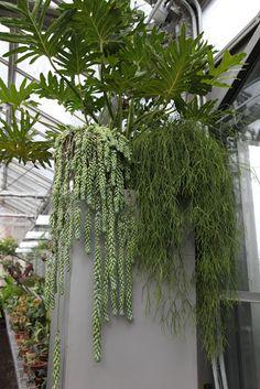 Perched upon one tall column is a split-leaf philodendron - bipinnatifidum, sedum morganianum - donkey tail, and rhipsalis capilliformis - old man's beard.