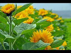 Oceanview Flowers Sunflowers in Lompoc, CA #AmericanGrown #OriginMatters #CAgrown