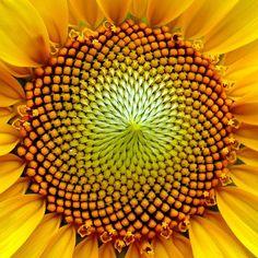 #Sunflower, demonstrating Fibonacci sequence.  #photography