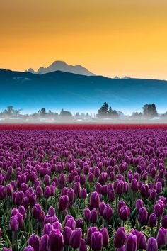 Skagit Valley Tulips, by Kevin Hartmsn.