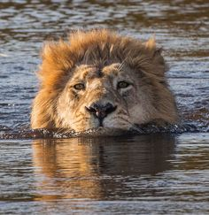 Male African Lion * Who said cats hate water!
