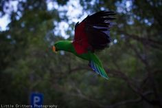 Pappagallo  Ecletto - Eclectus Parrot- Eclectus roratus