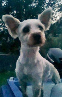 Meet Sadie (Has application), a Petfinder adoptable Poodle Dog | Washington, DC | Yorkie-poo mix, Female, 1 1/2 yrs old, 10 lbsDog Name: SadieSuspected Breed(s): Yorkie-poo...