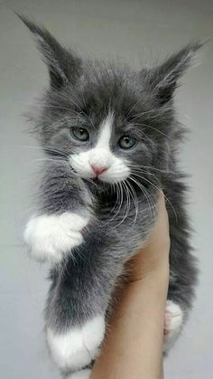 Maine Coon Kitten with white toes! Maine Coon Kitten with white toes! Cute Cats And Kittens, Cool Cats, Kittens Cutest, White Kittens, Black Cats, Pretty Cats, Beautiful Cats, Gatos Cat, Maine Coon Kittens