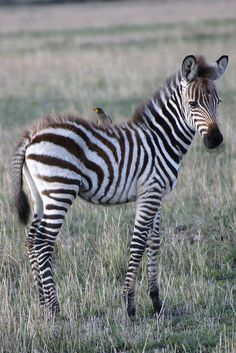 *A Baby Zebra and His Pal (by TangoPango)