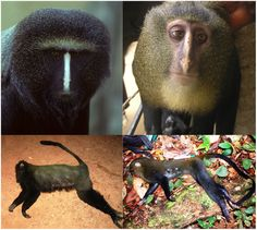 A New Species of Cercopithecus Monkey Endemic to the Democratic Republic of Congo and Implications for Conservation of Congo's Central Basin.
