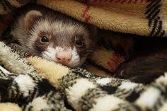 Cute   http://www.pinterest.com/pin/461056080575529819/   Outdoor ferret funspace http://www.pinterest.com/pin/334533078543500503/
