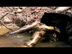 ▶ Male Jaguar vs Green Anaconda - HD - YouTube