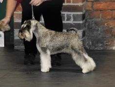My girl Lizzie at our Northern schnauzer club championship show where she came a respectable third in a strong class behind the BOB winner and eventual BIS winner!