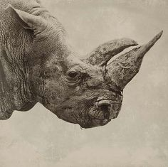 Rhino (just as endagered as the Elephant, as these beatiful animals are illegaly killed just for their tusk/horn)