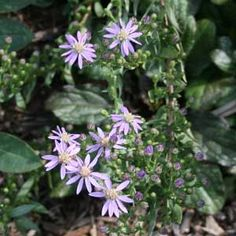 Eastern silver aster (Symphyotrichum concolor), NJ native plants.