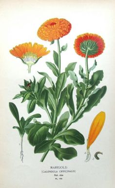 Calendula Officinalis - Family Asteraceae - Common Names - Common Marigold, Golds, Goldings, Jack-on-horseback, Marybuds, Mary's Gold Pot Marigold, Rod's Gold, Ruddes, Ruddles, Scotch Marigold, Souvenir, Yellow Goldes.