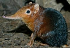 One of the rarest animals the sneaky Sao Tome Shrew