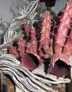 Huernia keniensis