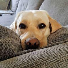 Happy #bürohundtag2019 🥰  #bürohund #hundeliebe #labrador #agenturleben #agenturalltag Labrador Retriever, Dogs, Animals, Labrador Retrievers, Animales, Animaux, Pet Dogs, Doggies, Animal