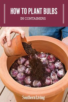 How To Plant Bulbs in Containers Planting bulbs in containers in the fall will give you a sunny show for spring gardening gardenideas southernliving containergardening #