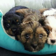 I'm getting excited!!! My dog will be having her first liter of Schweenies in 1 1/2 weeks... They are so stinking cute :) Schweenie puppies- 7 wks