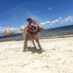 #Regram post to @pinterest Descansando en la playa  planeando la próxima semana. Hasta rocky se emociono con la nueva estrategia.#entrepreneur #pet #petsofinstagram #beach #cancun #marketing #perro #perrosdeinstagram #vida #negocio #business #relax #rest #dayoff by aaronherzberg.io - #ViralInNature is named by Clutch.co as Canadas Top Social Media Marketing Agency http://vnat.ca/TopSocialMediaAgencyCanada2016 Visit us at http://bit.ly/1seeN6z