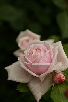 Paul's Early Blush (Hybrid Perpetual) 1893. This rare light pink rose was discovered as a sport of the Hybrid Perpetual Heinrich Schultheis (1882). Repeat blooms are double with a strong cinnamon fragrance. Winter hardy plant grows 3 to 4 feet high. Gorgeous photo by nomad123, via Flickr.