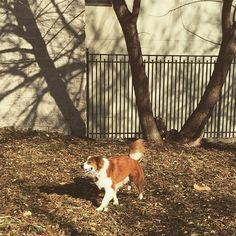 It's starting to feel like spring! I had so much fun yesterday shedding all over my roommates  #sundayfunday #sunshine #sunnyday fphilly #petstagram #australianshepherd #englishshepherd #aussiemix #adoptdontshop #shepherdsofinstagram  #buzzfeed #dogsofinstaworld #dogsofinstagram  #petfancy  #igcutest_animals  #australianshepherdworld #pdphotos #n1cedogs #dailydogg_features #lacyandpaws #dogsandpals  #meowsandwoofs #petfever #milkbonedogoftheweek by rambo_gone_wild