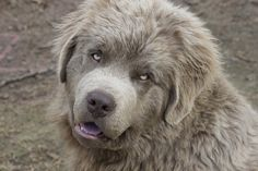 platinum newfoundland dog - Поиск в Google