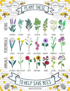 Plant these to help save bees Herbs: Lavender, Catmint, Sage, Cilantro, Thyme, Fennel, Borage, Rosemary, Comfrey, Hyssop, Thyme Marjoram, Lemon Balm, Fennel, Angelica, Wild Bergamot, Woundworts, Betony, Myrtle. Perennials: Crocus, Buttercup, Aster, Hollyhocks, Anemone, Snowdrops, Geranium.