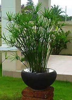 Image result for papyrus gravel garden