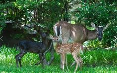 A black deer - unbelievably gorgeous! Pictures taken by RJ Verge near Beamsville, Ontario, Canada Black deer are more rare than albinos. Animals And Pets, Baby Animals, Cute Animals, Wild Animals, Bambi, Albino Deer, Melanistic Animals, Black Deer, Black White