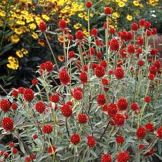 Gomphrena Strawberry Fields, I love the contrast and great new color! Annual/Great for Cutting 2013 Seeds 3.65