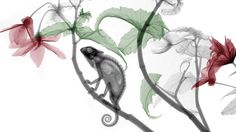 A stunning series of X-ray images by medical specialist and artist Arie van 't Rietm The dead chameleon came from a friend who bred reptiles