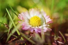 Hidden #daisy by kreativgrund on 500px, #summer #spring
