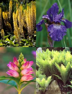 Best Perennials for Wet Soil with 8 bare roots - Looking for a solution to your wet areas in your garden? Plant these water loving perennials that will return year after year! Add pops of color with the varying heights of the siberian iris, rose turtlehead and ligularia amongst the green ostrich fern.