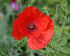 Poppy Flower Wallpaper