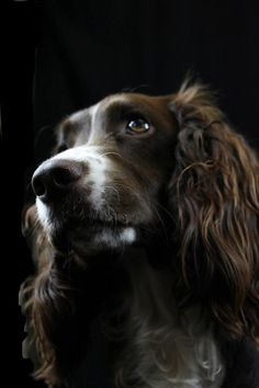 Working Cocker Spaniel portrait