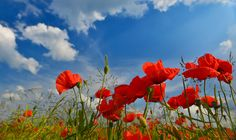 """""""On fields"""" #poppies and blue summer sky above"""