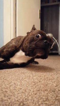 When a dog activates its high alert mode - dogmemes Cute Puppy Videos, Cute Animal Videos, Funny Animal Videos, Funny Animal Pictures, Funny Videos Of Dogs, Cute Puppy Gif, Dogs Video, Funny Animal Jokes, Cute Funny Animals