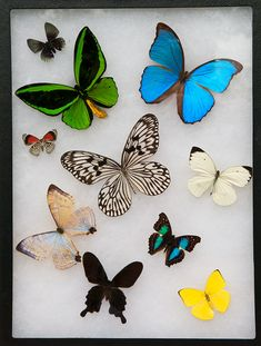 Framed and mounted real butterflies used for reference purposes to replicate realistic models - for insect series