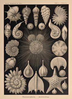 Haeckel.1899.Kunstformen der NaturObras de por CastafioreOldPrints