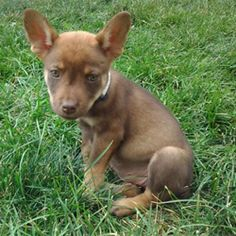Terrier/Chihuahua Mix available for adoption!