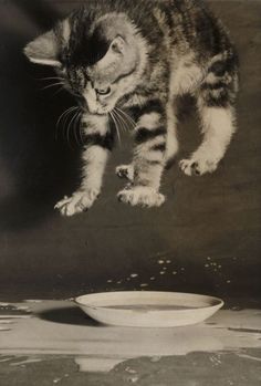 yama-bato      Creator:  Fincher, Terry (1931-2008)      Date:  1958      Description:  A photograph of a kitten splashing in a saucer of milk, taken in 1958 by Terry Fincher for the Daily Herald.
