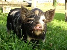 This is a kunekune pig.  The breed is rare, but I will have one someday! :)